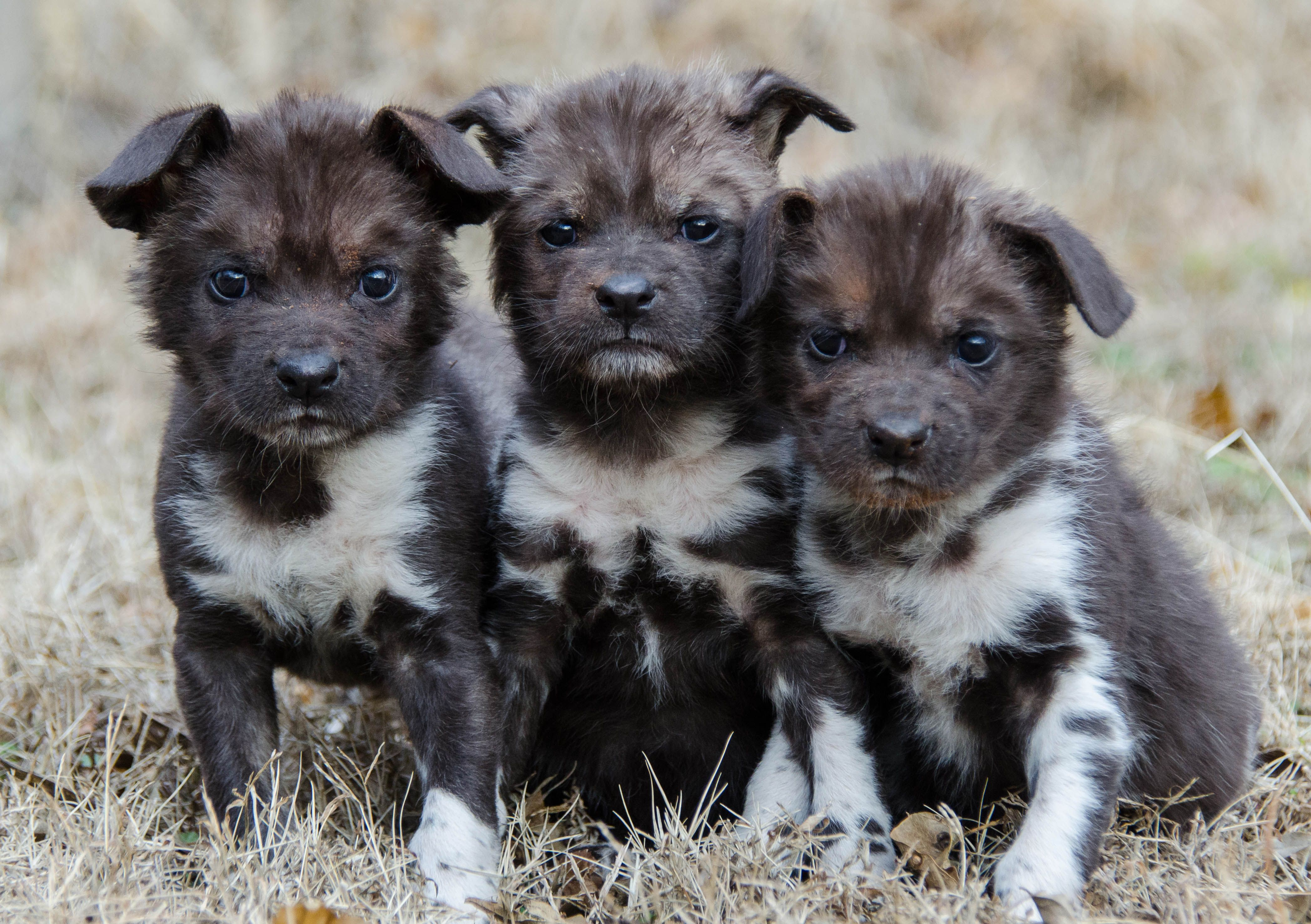 Three Endangered African Wild Dog Pups Raised By A Golden