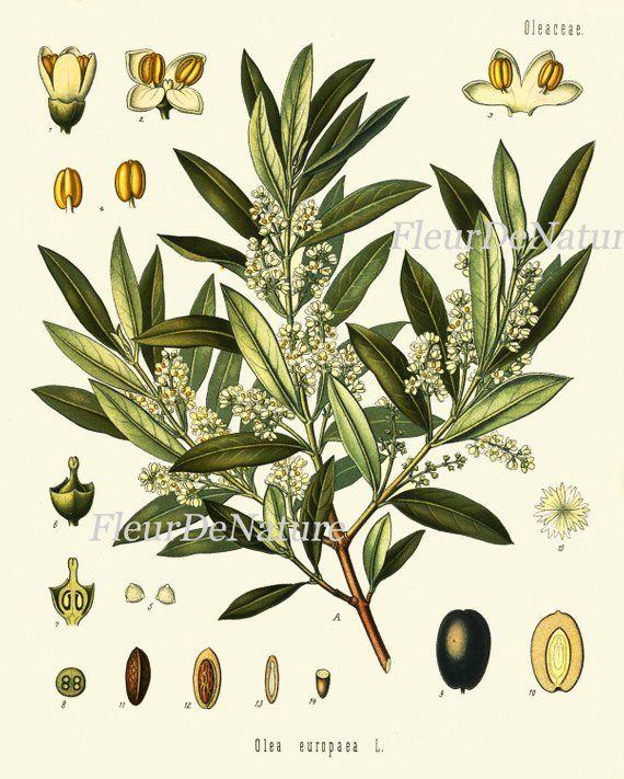 Olive Botanical Art Print Kohler Herb 8x10 Art 13 Beautiful Antique ...