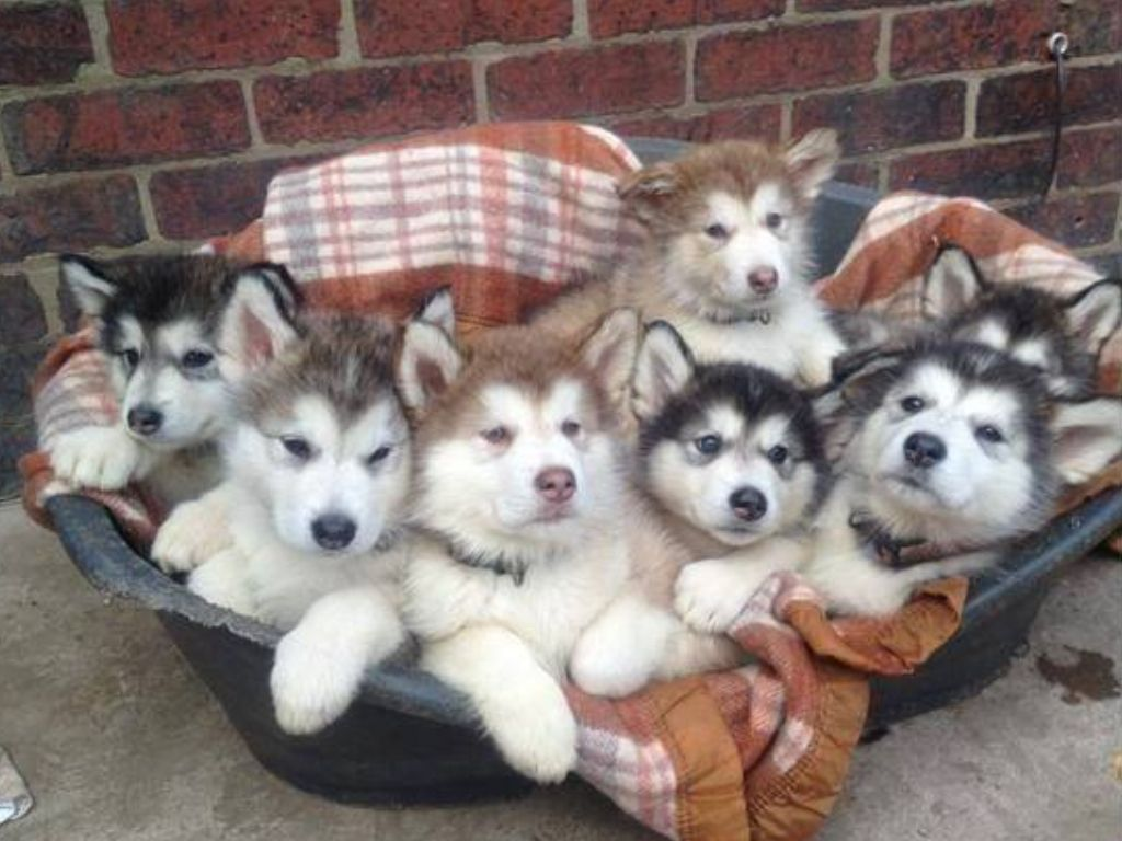 Basket full of love (With images) | Puppies, Alaskan ...