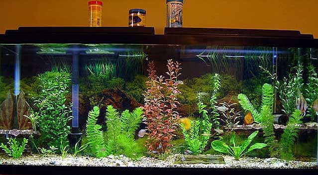 17 Best Images About Fresh Water Tank Ideas On Pinterest | Fish