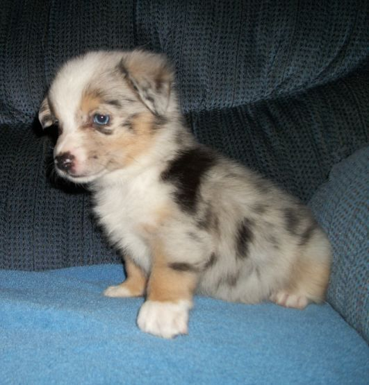 augie dog breed - Google Search