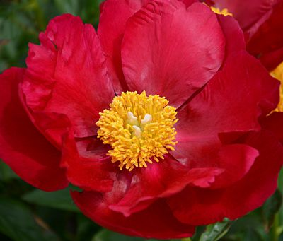 Klehm S Song Sparrow Farm And Nursery Peonies Paeonia Burma Midnight