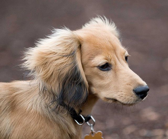 Resembles our Murphy :) Shaded english cream long haired