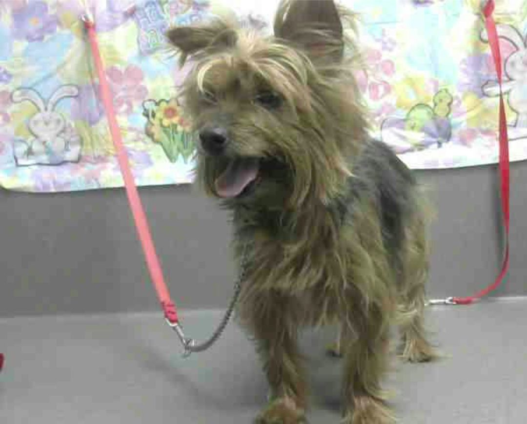 AYLENE A472754 (Moreno Valley CA) spayed female brown and