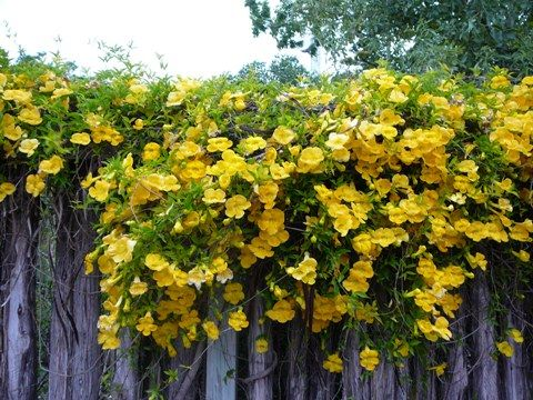 Catclaw Vine Can Take The Hot Afternoon Sun And Should Keep Leaves In Zone 9 11 In Winter That S A Plus Flowering Vines Climbing Plants Trees To Plant