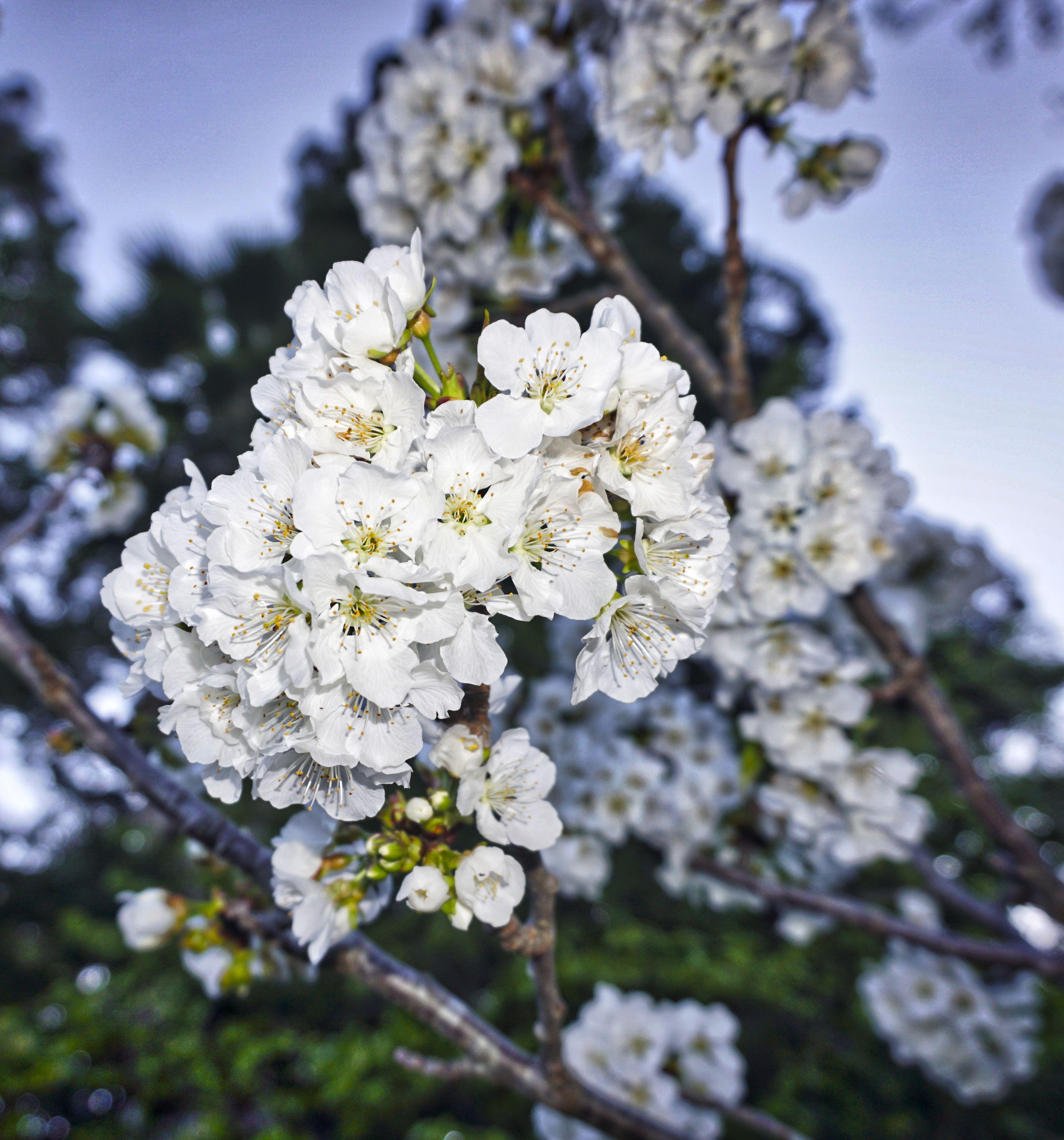 Cherry Blossoms Dublin California 2017 Urban Art Cherry Blossom Dublin