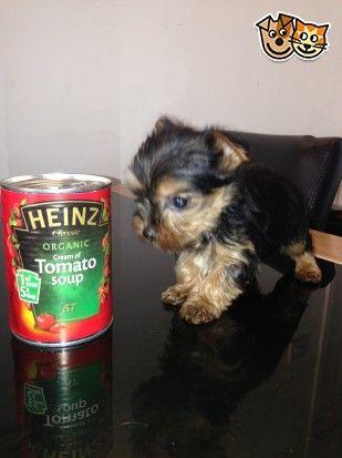 Yorkshire Terrier Puppies Miniture Standard Chester