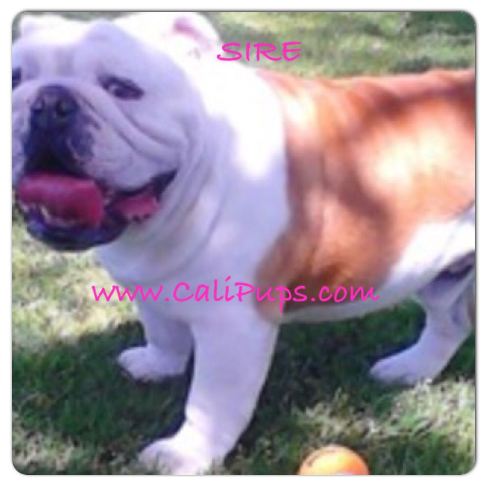 Chloe S Sire English Bulldog Mini English Bulldogs English Bulldog