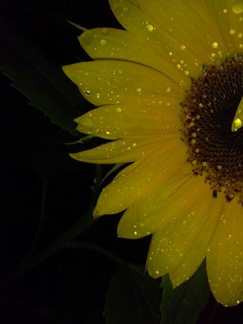 My beautiful sunflowers after a heavy rain #love #flower #pretty #prettyflower #... - #fallpicturenature - My beautiful sunflowers after a heavy rain #love #flower #pretty #prettyflower #sunflower #rain #dew #dewdrop #nature #water #naturalbeauty #homegrown #fall #spring #summer #love #closeup #closeuppictures #microphotography You are in the right place about fall picture nature mornings  Here we offer you the most beautiful pictures about the  fall picture nature  you are looking for. When yo