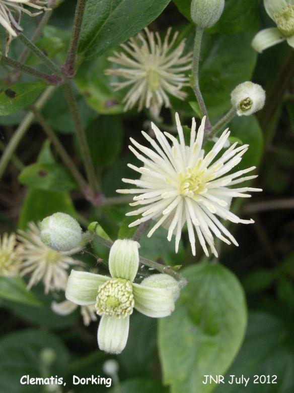 Bach Flower Cards Clematis Clematis Flores Cartoes De Flores