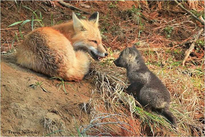 Red fox and cub.