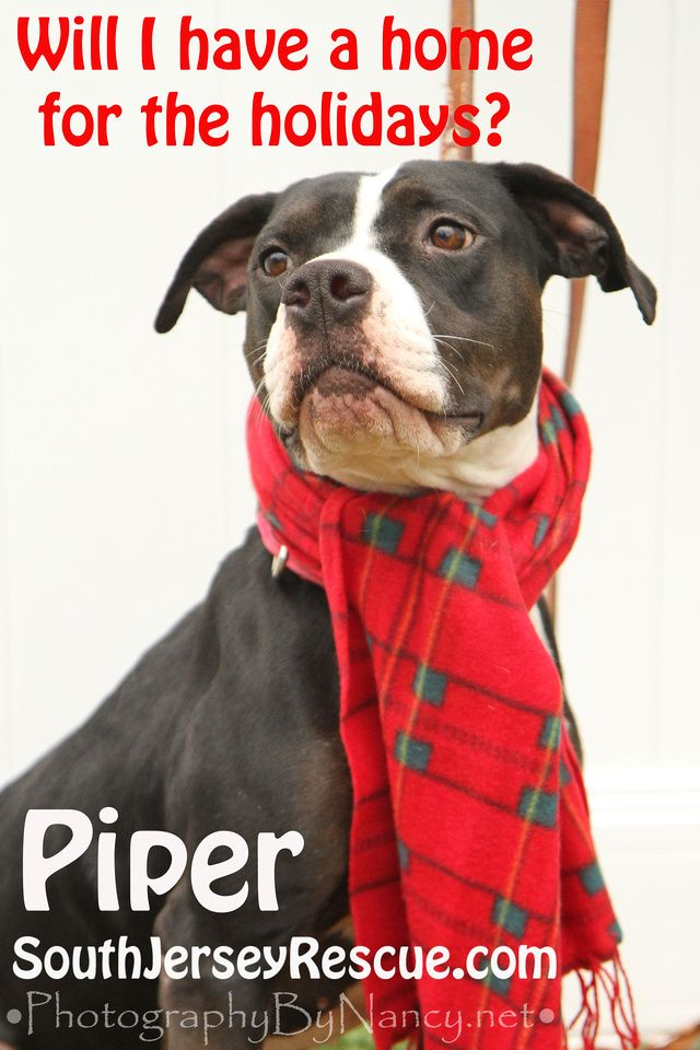 Piper Piper Bull Dog/Pointer Mix. South Jersey Rescue. Dog