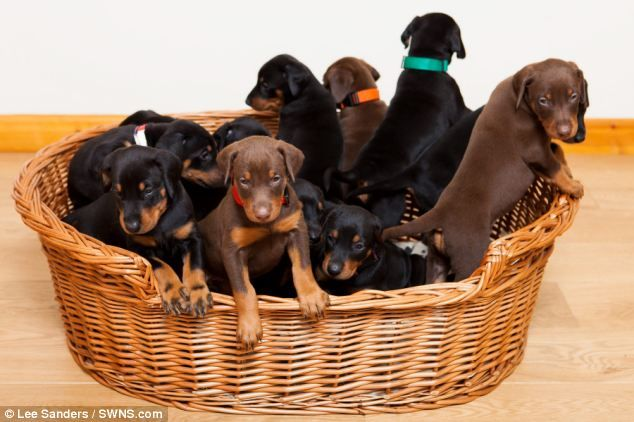 Gina The Doberman Said By Vets To Be Pregnant With Six Pups Stuns