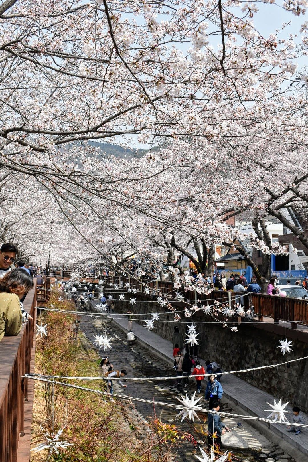 Cherry Blossom Season In South Korea Jinhae South Korea April 2018