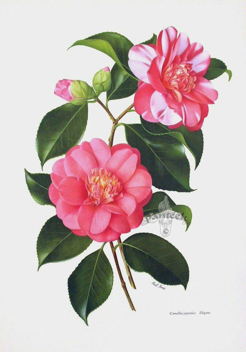 Pin De Celeste Bode Em Botanicals Ilustracao Botanica Desenho Botanico Desenhos De Flores