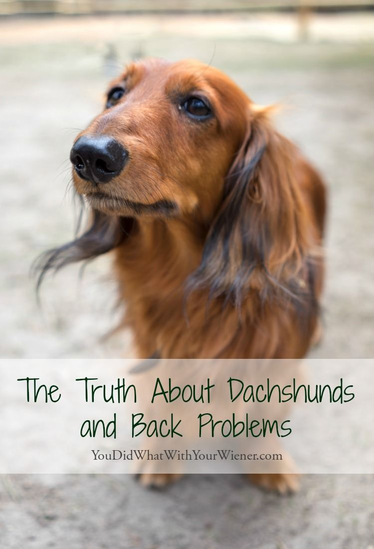 The Truth About Dachshunds And Back Problems Dachshund Facts