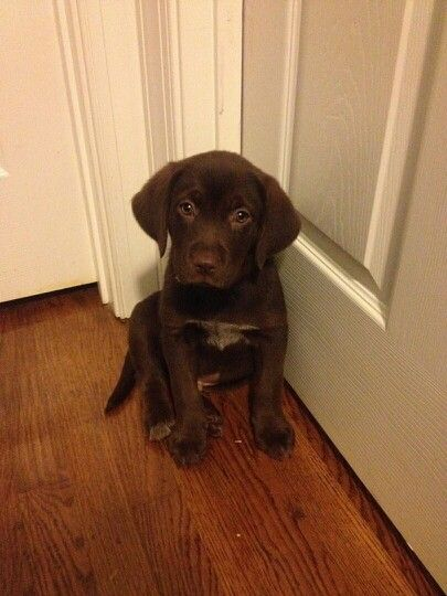 My 8 Week Old Lab Beagle Mix Maddux Outside My Bedroom Door While
