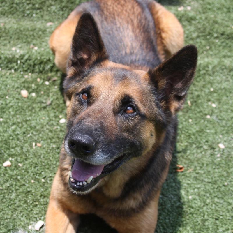 Meet Buddy A Petfinder Adoptable German Shepherd Dog Dog Winder