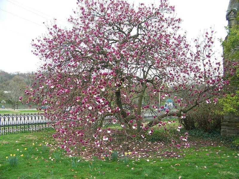 Magnolia X Soulangeana Lennei Trees For Landscaping Magnolia