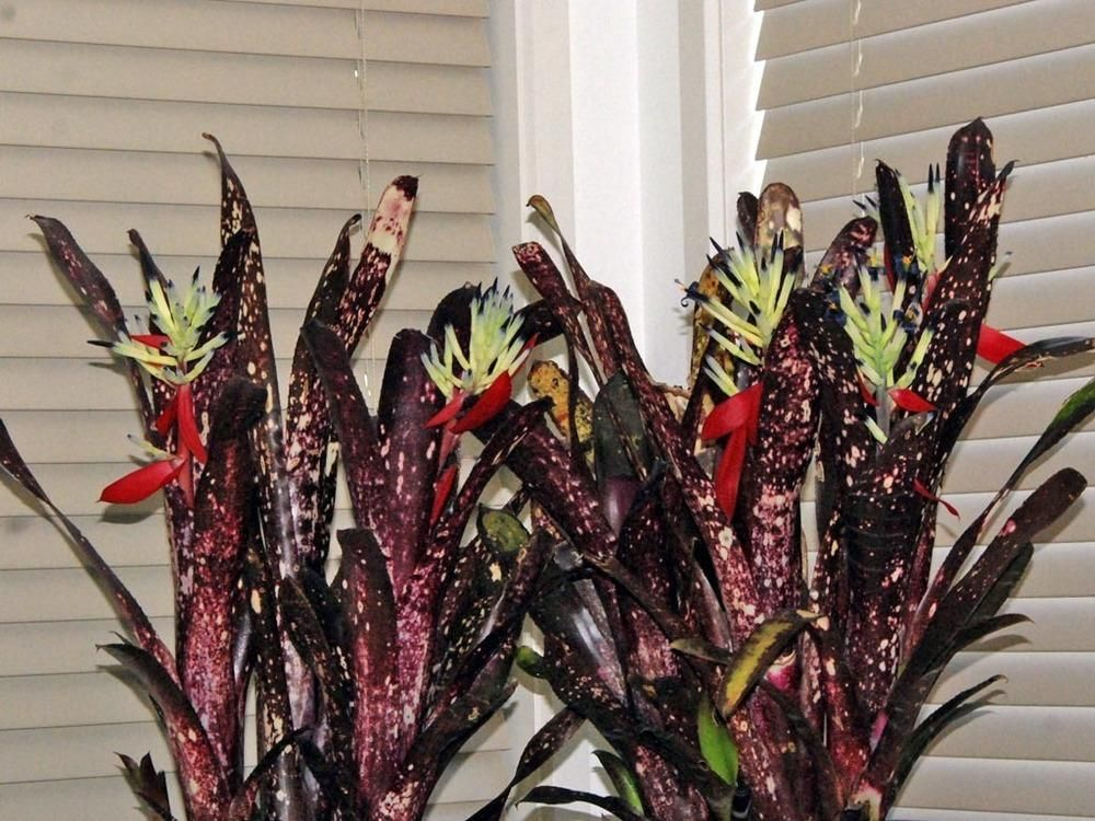 Photo of the entire plant of Bromeliad (Billbergia