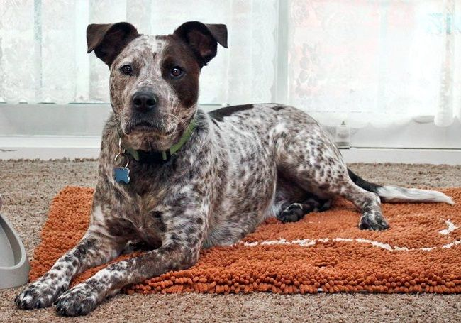 Australian Cattle Dog Pitbull Mix Size Pitbull Mix Puppies
