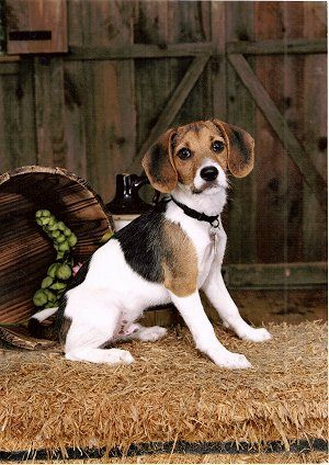 Jack A Beejack Russell Beagle Adorable Looks A Lot Like