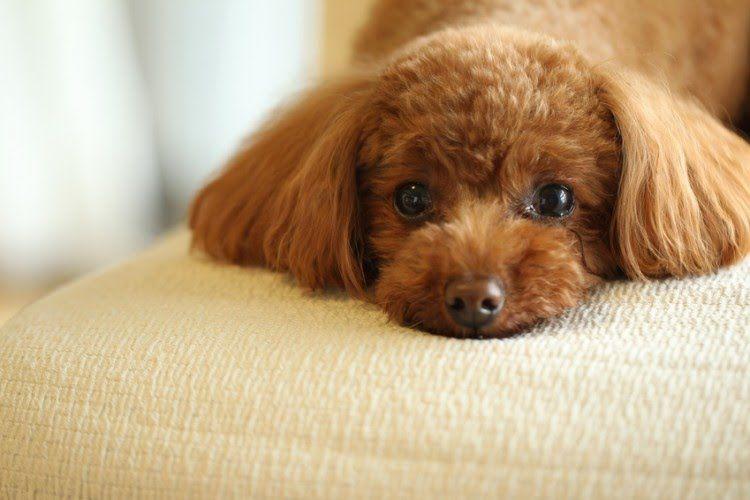 雨の日でも充実 小型犬を退屈させない室内遊び みんなのペットライフ 小型犬 トイプードル プードル
