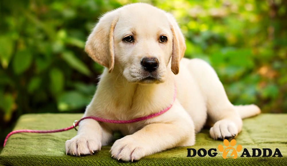 A Dog Will Teach You Unconditional Love Dogzadda Hyderabad Malkajgiri Petshop Petsforsale Labrador Puppy Labrador Retriever Labrador Retriever Puppies