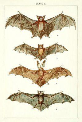 the vintage moth circa 1900 r e holding bats print and a