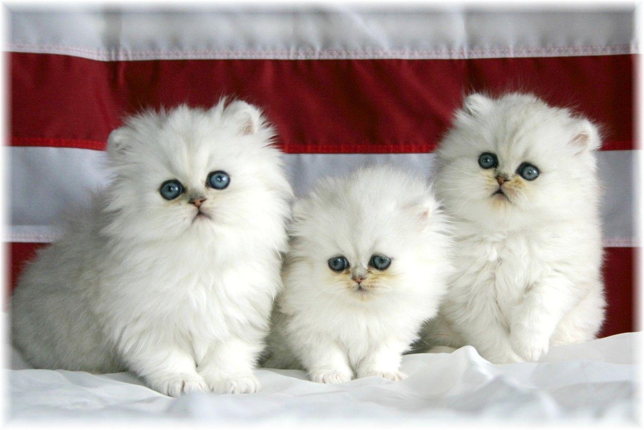 Beautiful White Cute Cat Pictures Photos Wallpapers 可愛すぎる動物 キュートな猫 かわいい動物の赤ちゃん