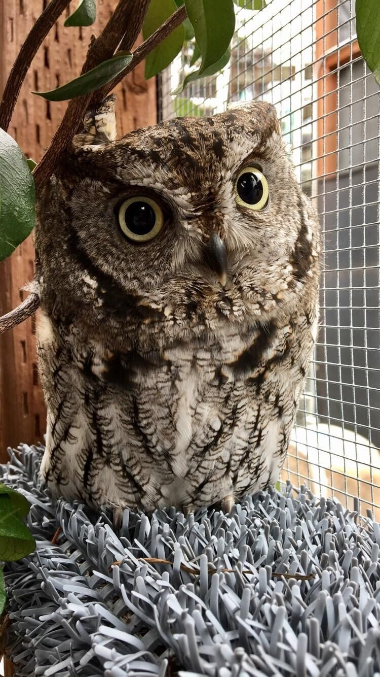 This is Trill a Western Screech Owl who serves as a ...