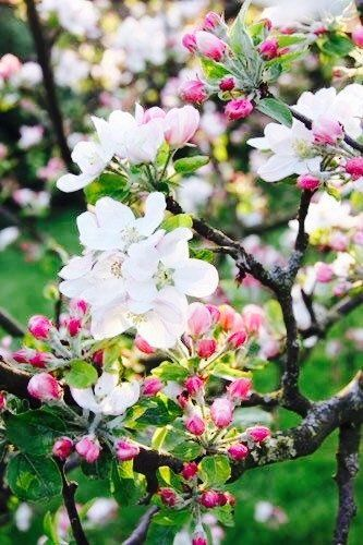 13 Of The Most Colorful Crabapple Trees For Your Yard Crabapple Tree Apple Tree Gardening Flowering Trees
