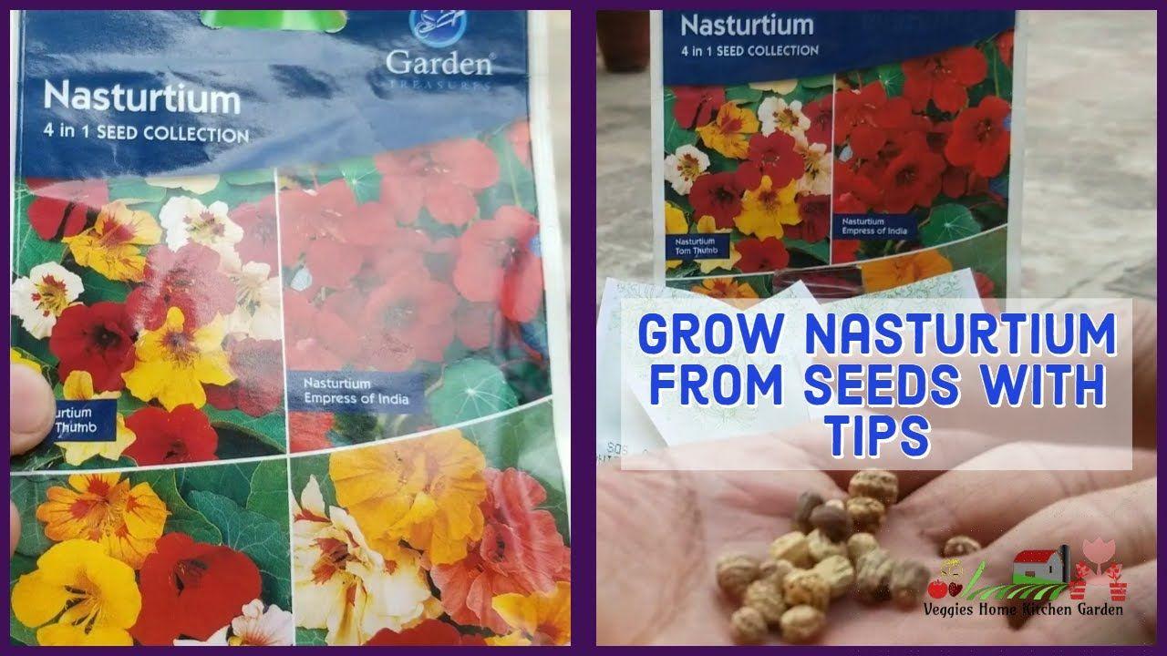 How To Grow Nasturtium From Seeds Tropaeolum Winter Flowers Winter Flowers Nasturtium Growing Flowers