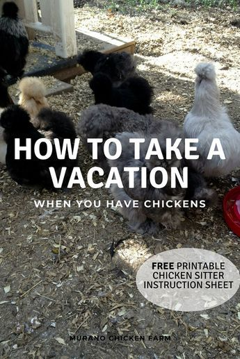 Chickens owners can vacation! (printable instruction sheet!) is part of Raising chickens, Chicken owner, Urban chicken farming, Best chicken coop, Chicken coop, Chicken farmers - How to take a vacation when you have chickens  Hiring a chickens sitter or leaving them home alone  What is the best vacation style for your flock  Free printable chicken sitter instruction sheet