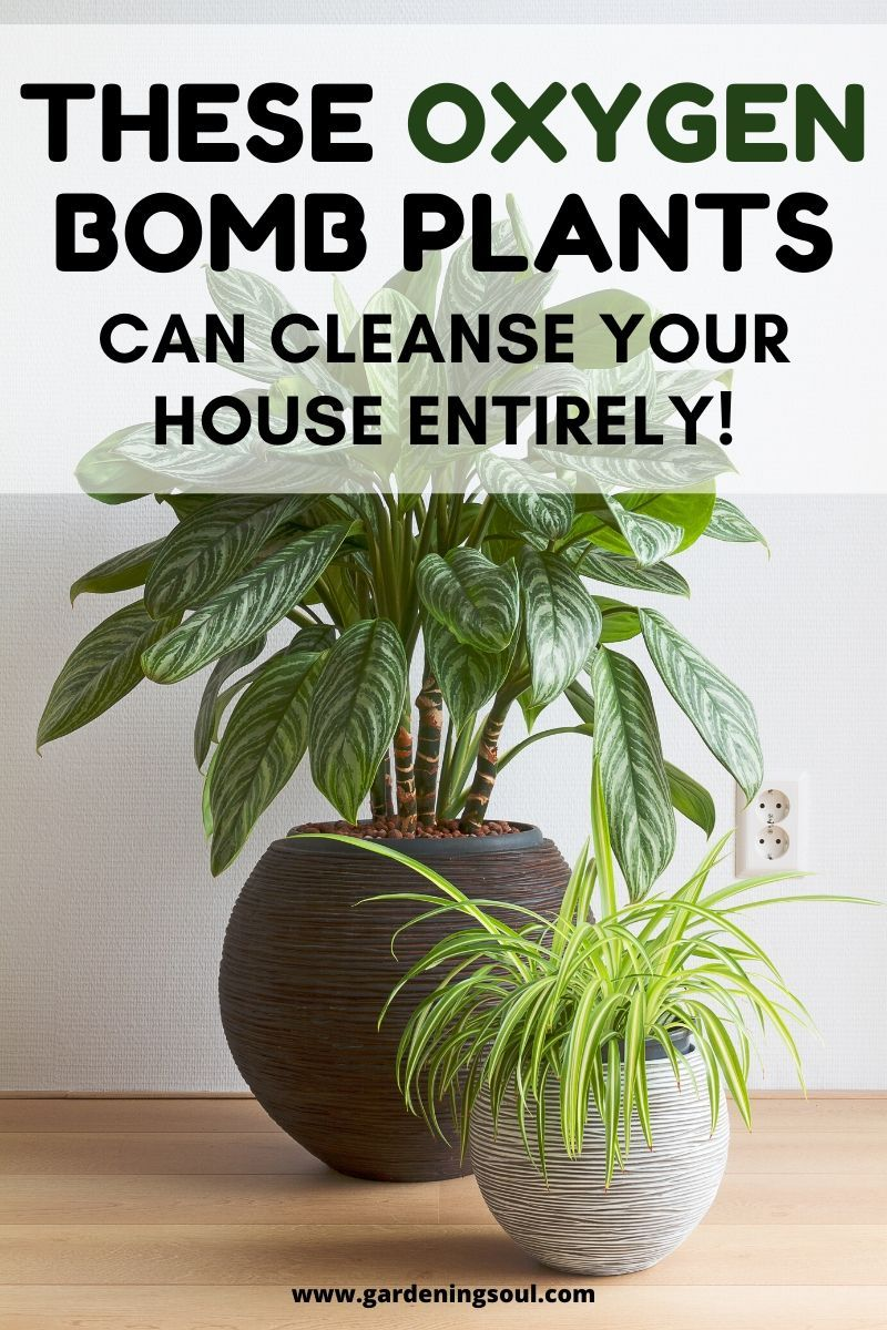 These Oxygen Bomb Plants Can Help Cleanse Your House ...