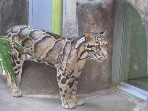 Ocelot?  Not sure...looks like a cat crossed with a snake!!
