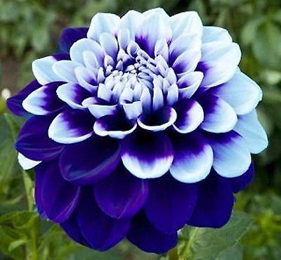 Blue White Dahlia Flower Seeds 100 Seeds Beautiful Flowers Flower Seeds Unusual Flowers