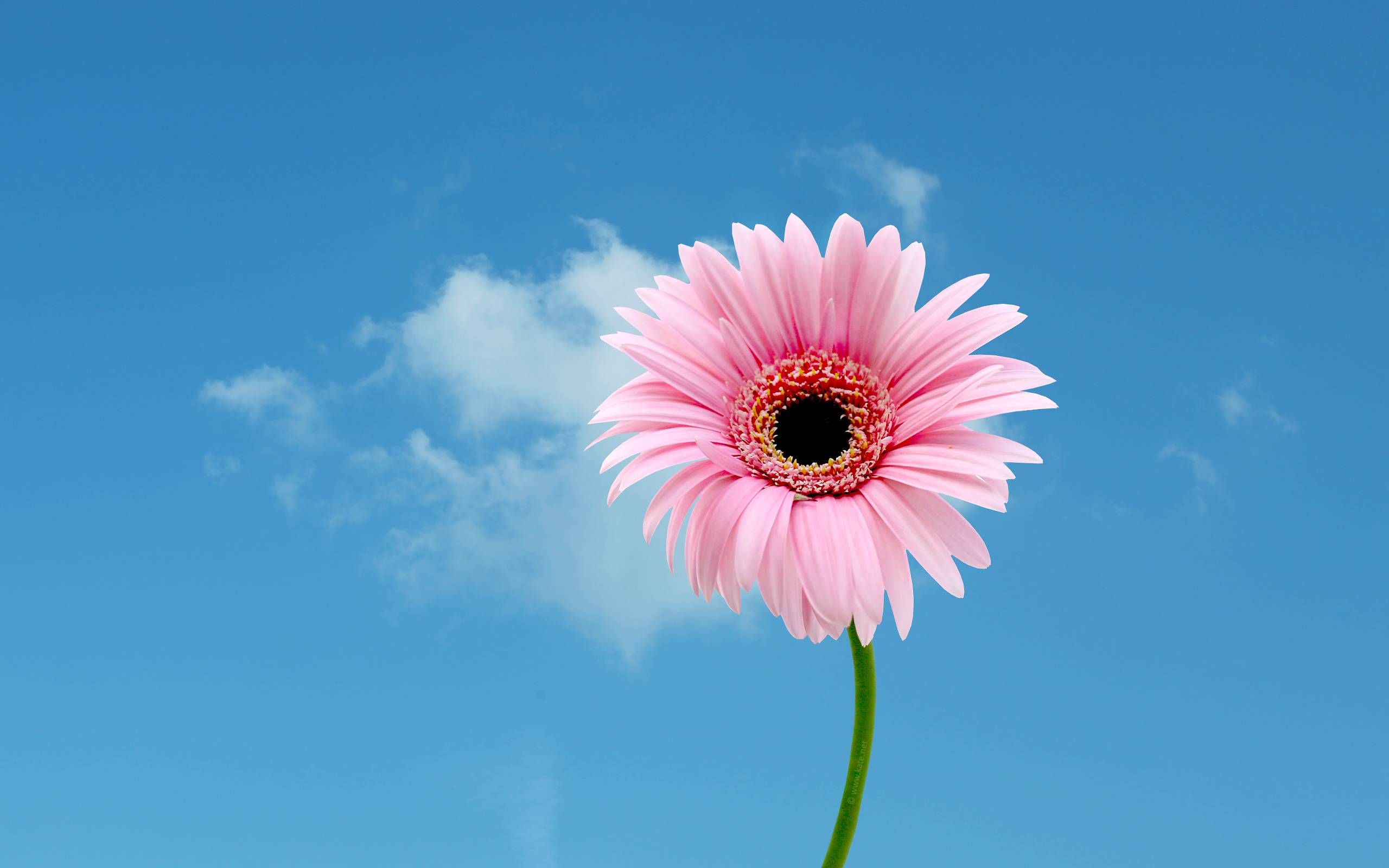 Pink Daisy Flower Wallpapers Photo Happy Mothers Day Images