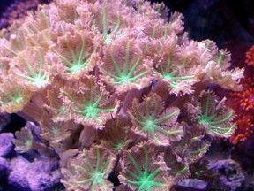 Green Clove Polyp Underwater Plants Saltwater Fish Tanks Saltwater Tank