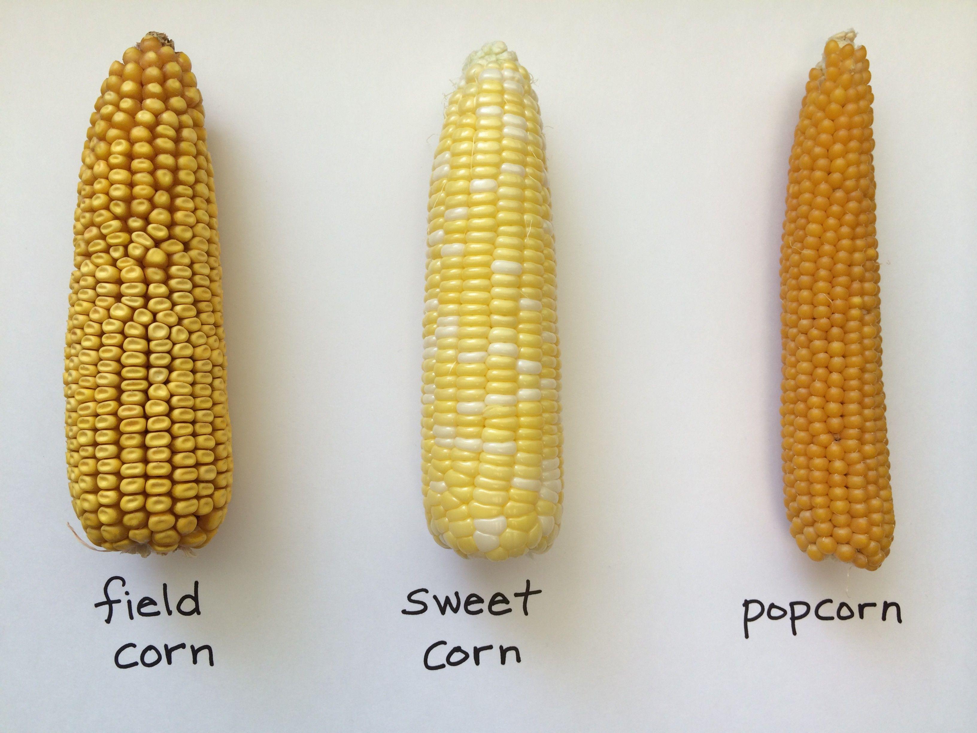 sweet corn or feed corn - Google Search | Corn, Sweet popcorn, Field corn
