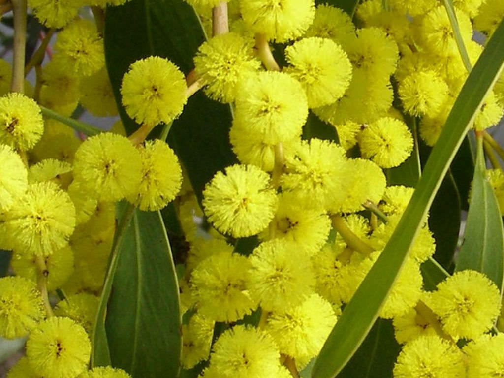 Acacia Pycnantha Golden Wattle World Of Flowering Plants Planting Flowers Plants Australian Trees