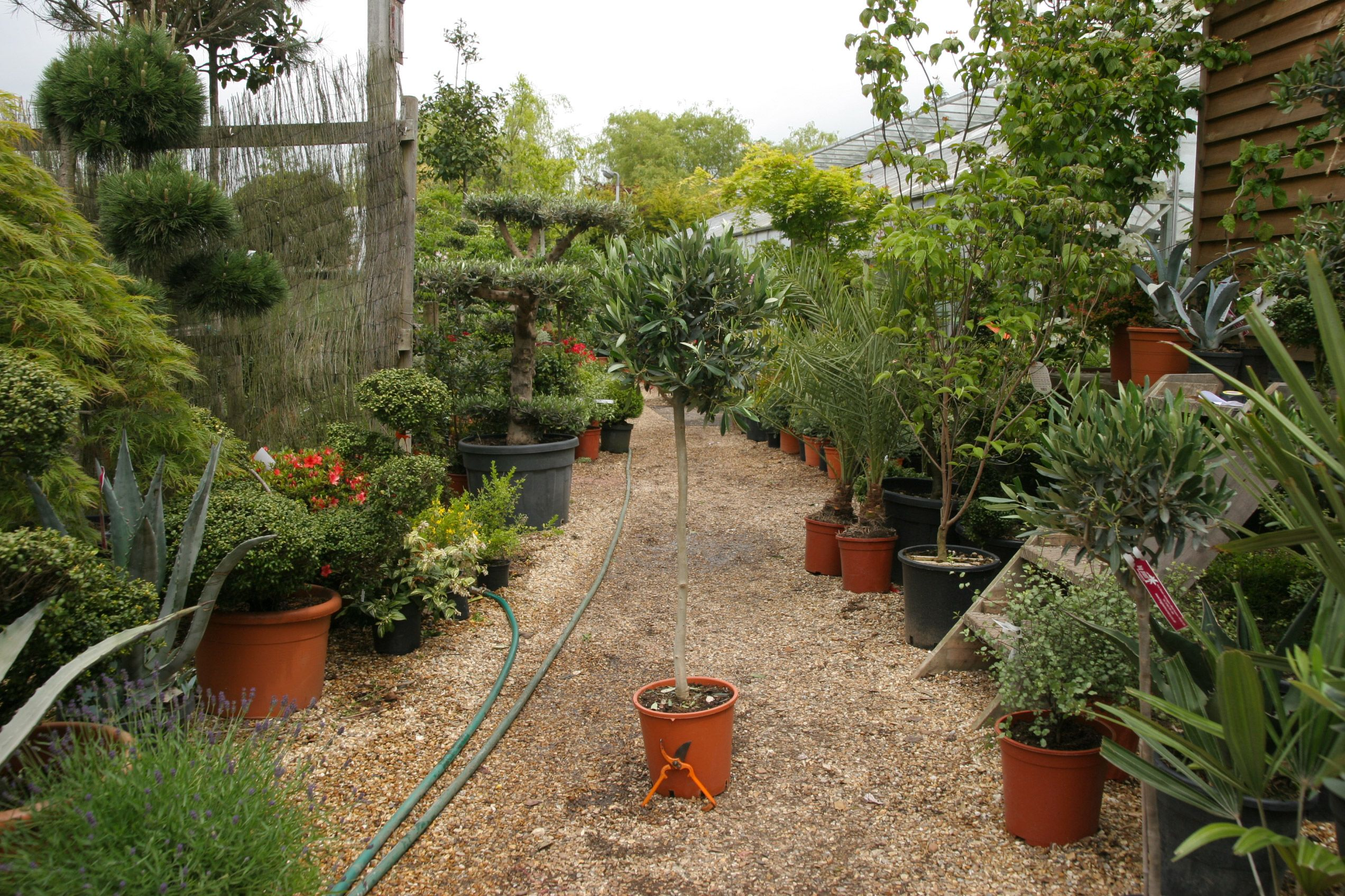 olive trees for sale online the widest range of the olive trees