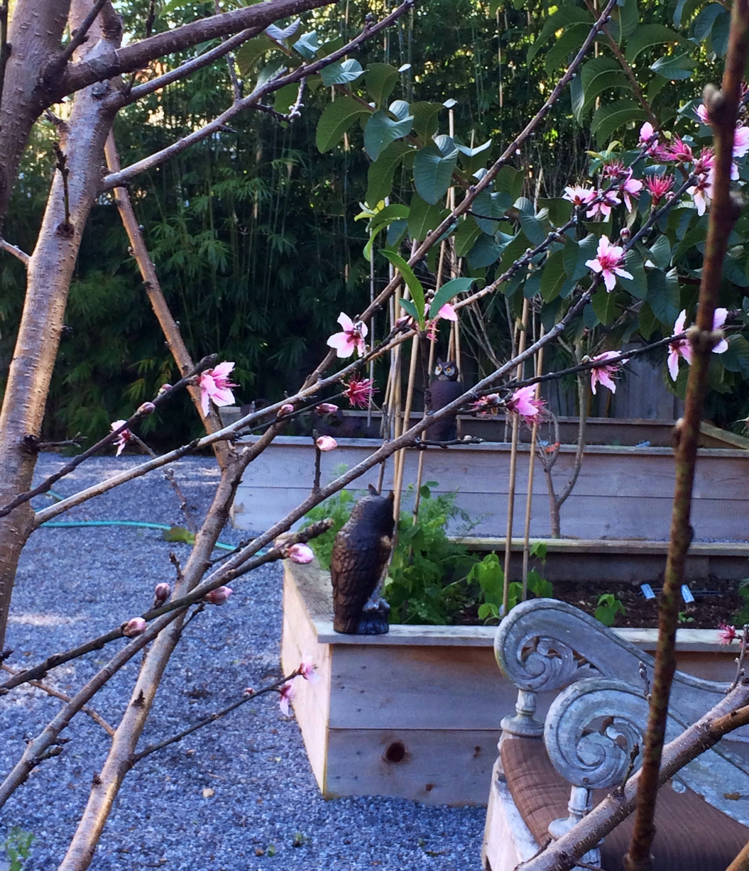 Winter in my garden. The peach trees make me very happy!