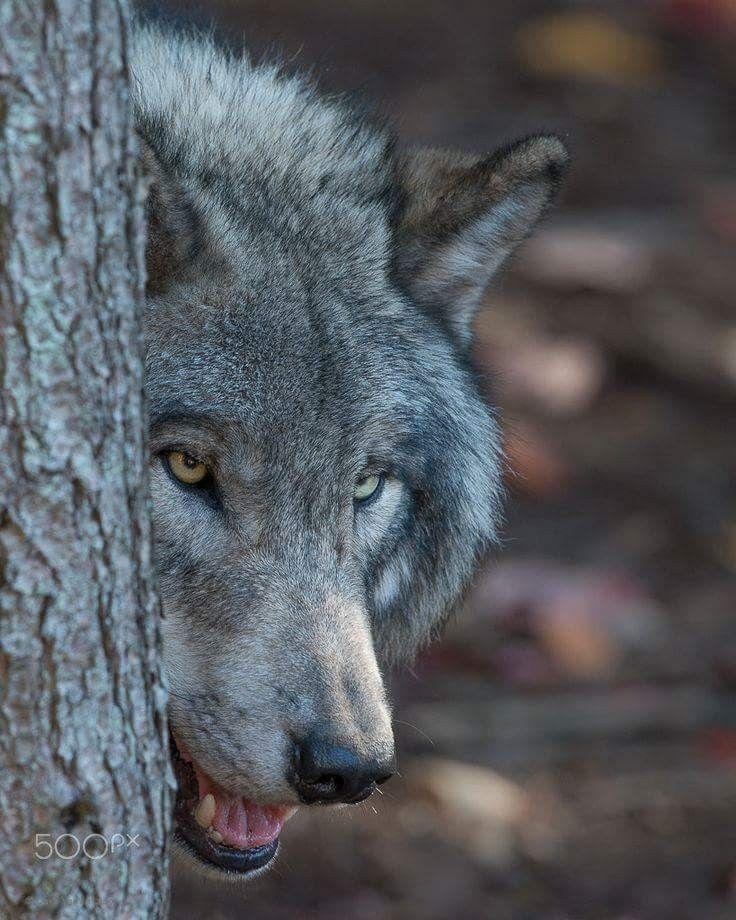 свою историю слезы волка фото было главным развлечением