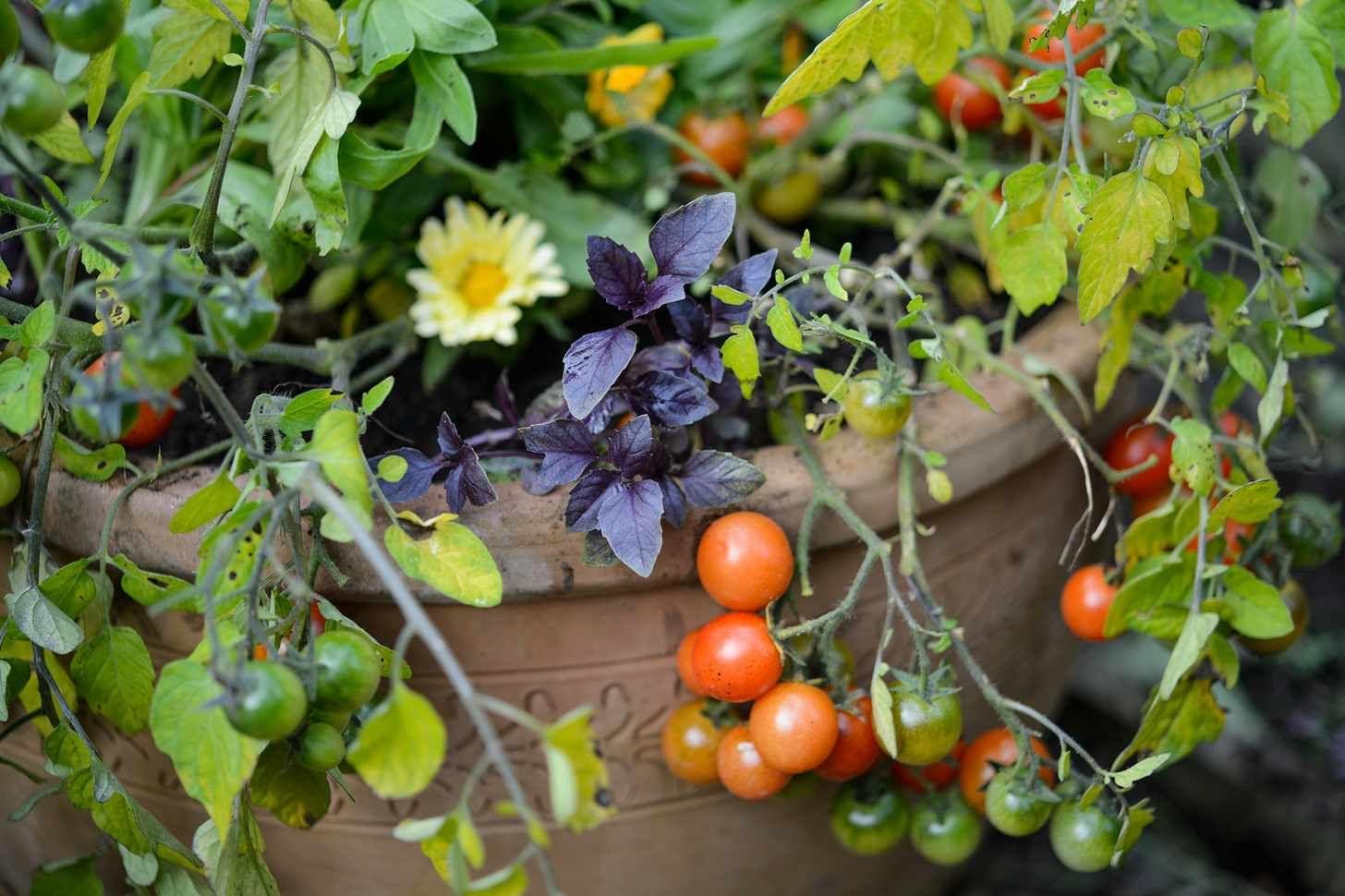 Tomato Basil And Calendula P*T Cucumber Companion 400 x 300