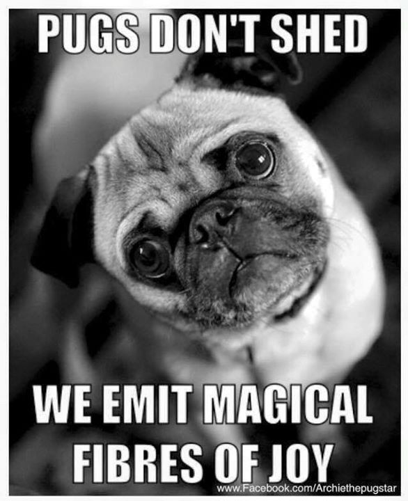 Pugs Don T Shed We Emit Magical Fibres Of Joy Pugs Funny Pugs