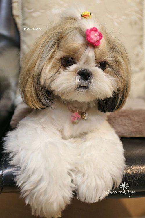 Pin By Debbie Mcquaig On Shih Tzus Cute Small Dogs Shih Tzu Dog