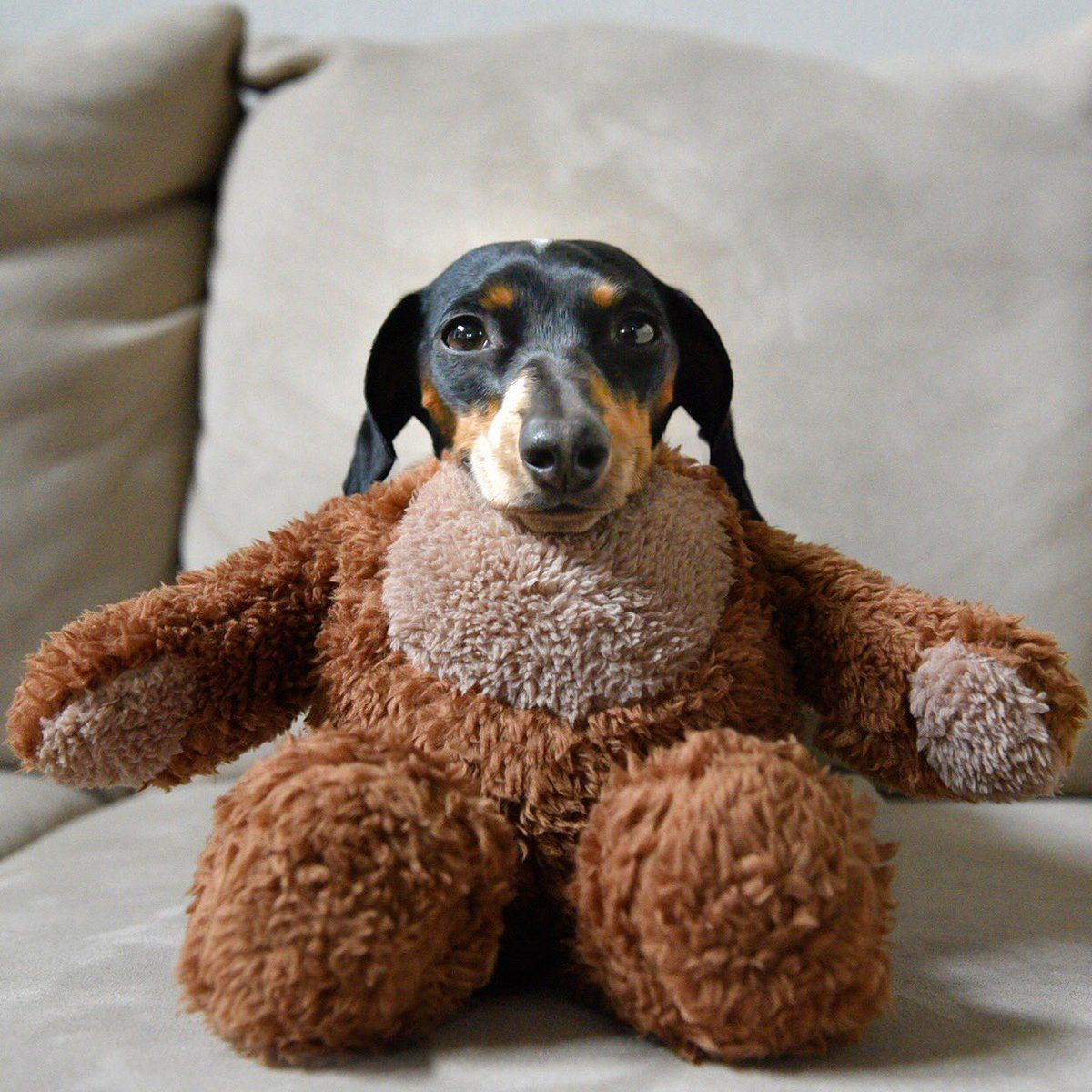 Adorable little reese the dachshund puppy pretending to be a teddy