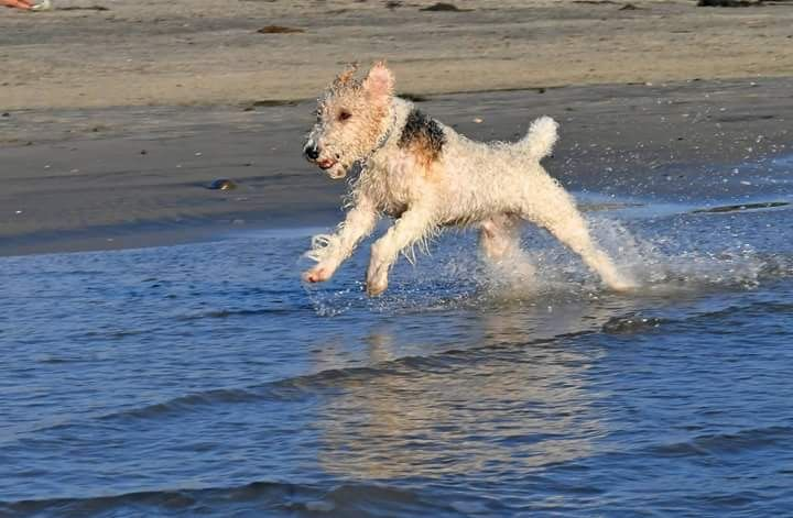 Muddy.... | Lovely stuff | Pinterest | Fox terriers, Terrier and ...