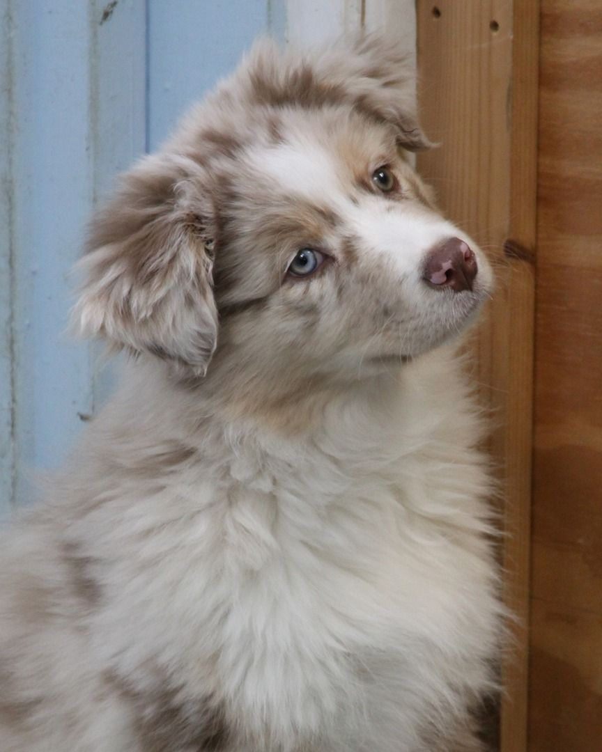 Australian Shepherd Breeder Amp Puppies For Sale In Ct
